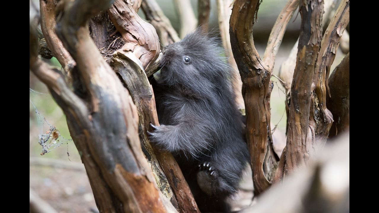 Video Woodland Park Zoo Welcomes Baby Porcupine Woodland Park Zoo Baby Porcupine Woodland Park