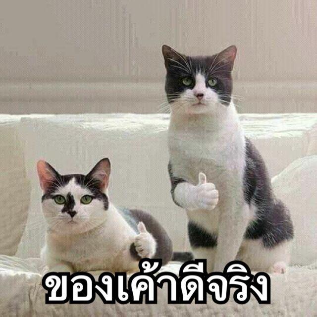 ไปตำก นได ร ปแมวขำๆ ม มตลกๆ ภาพส ตว ตลกๆ