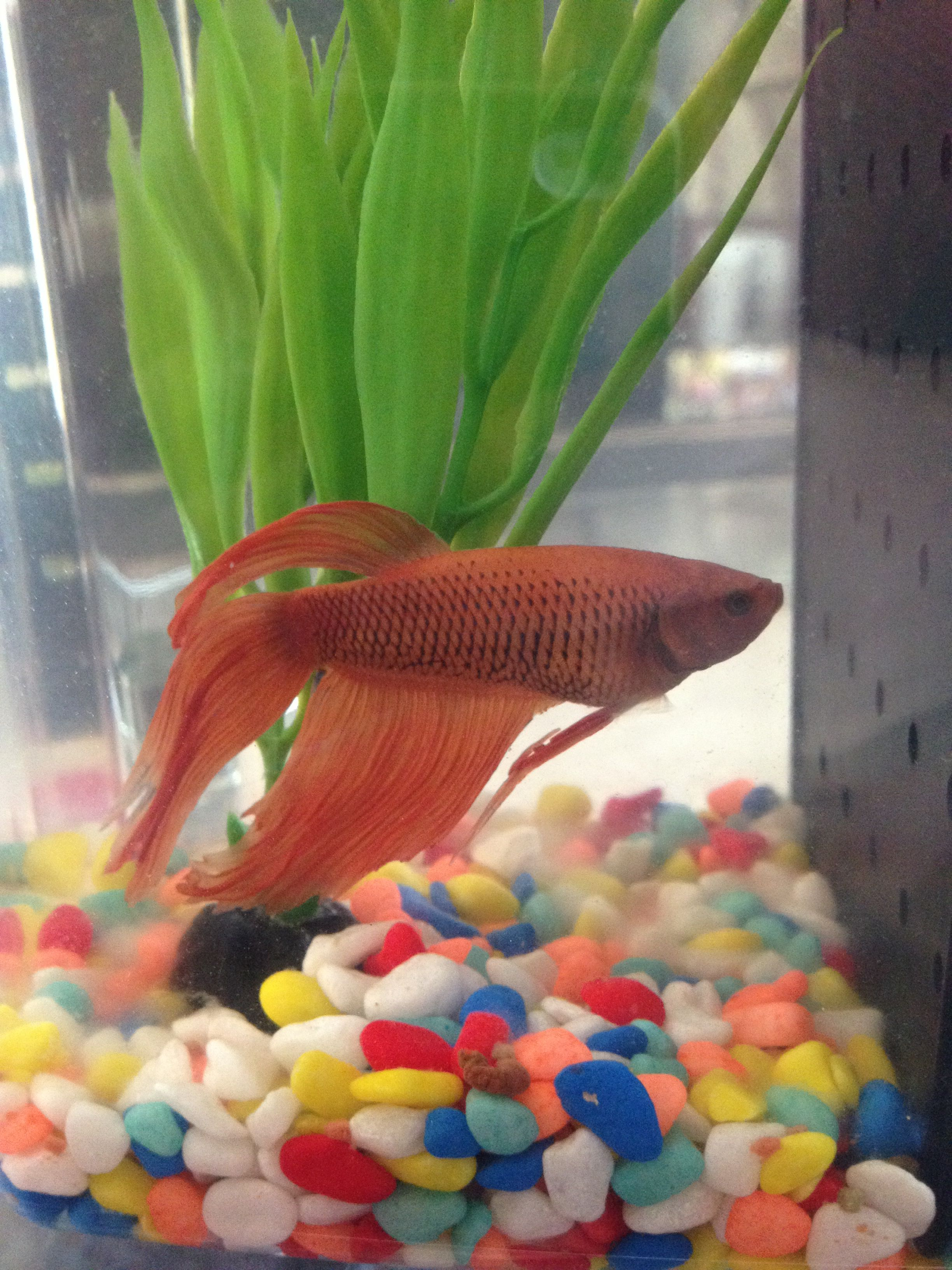 My orange betta his name is Nemo | Betta Fish | Pinterest | Betta ...