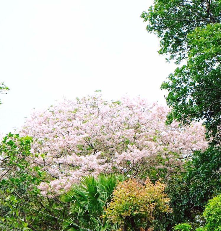 Palawan Cherry Tree Balayong Trees To Plant Cherry Tree Tree