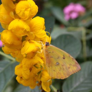 Cassia Flowers with Sulphur Butterfly  Cassia is a host