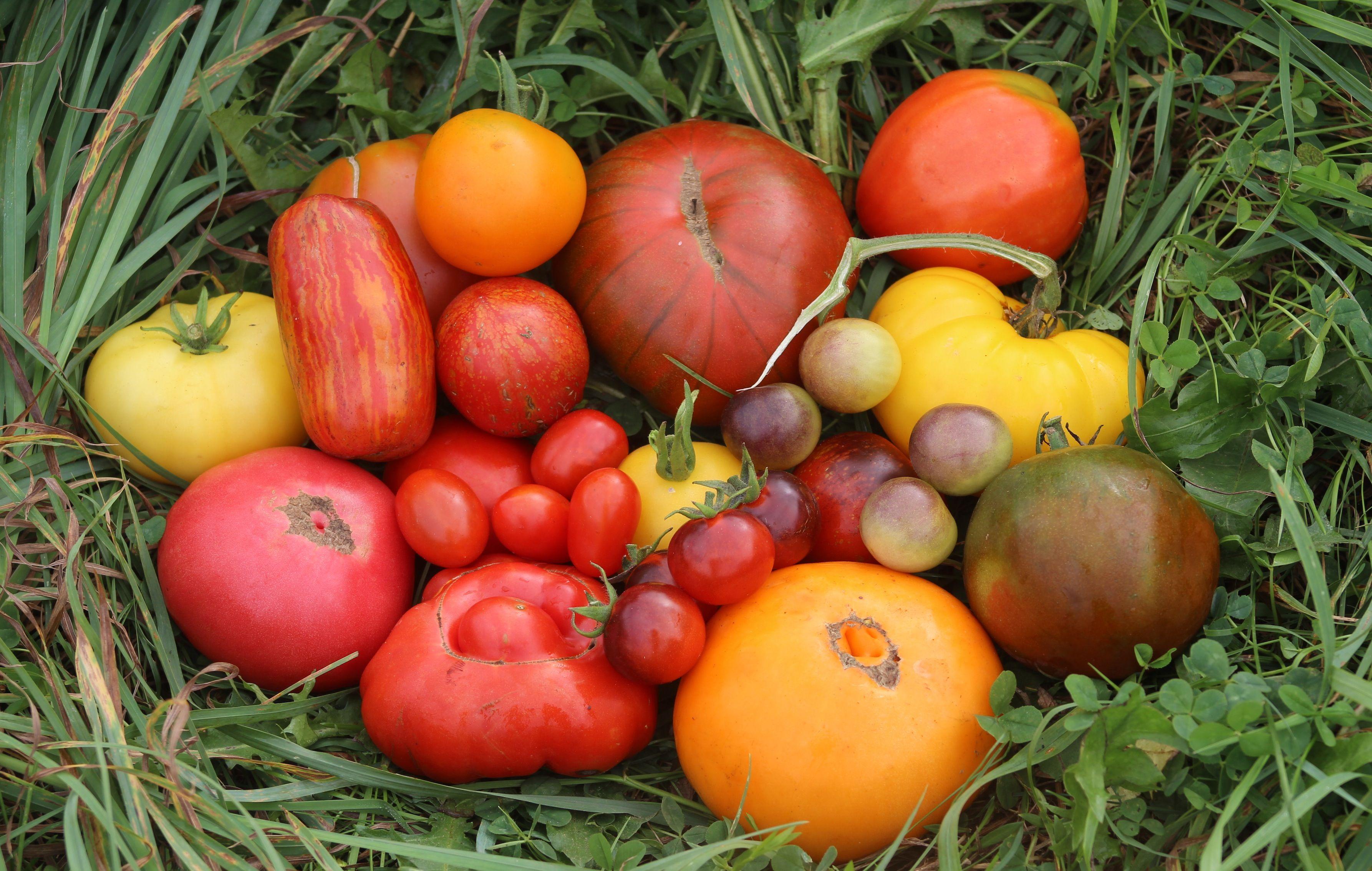 Sweetheart tomato seeds Heirloom seeds, Seeds, Heirloom