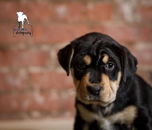 Berkley For Adoption At Petfinder Com Rottweiler Mastiff Mix An