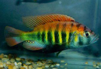 Flameback Cichlid Pundamilia Nyererei 5cm Cichlids Fish African Cichlids