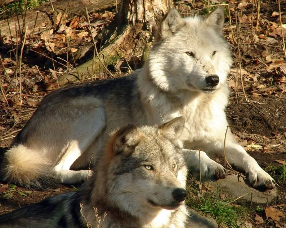 Wolf dog puppies for adoption near me