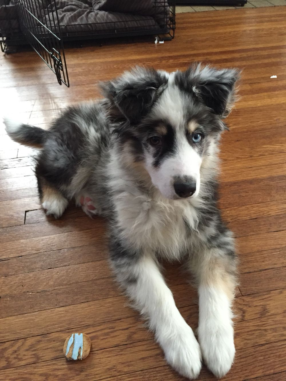 My 15 Week Old Blue Merle Australian Shepherd Zero Cute