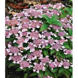 Photo of Plattenhortensien