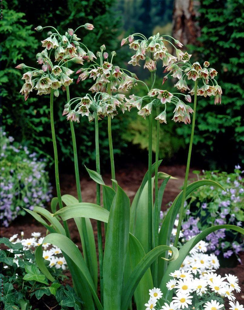 Honungslök (Allium Nectaroscordum Siculum) Andrea namn ...