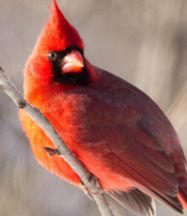 Cardinal. National Audubon Society. My favorite!