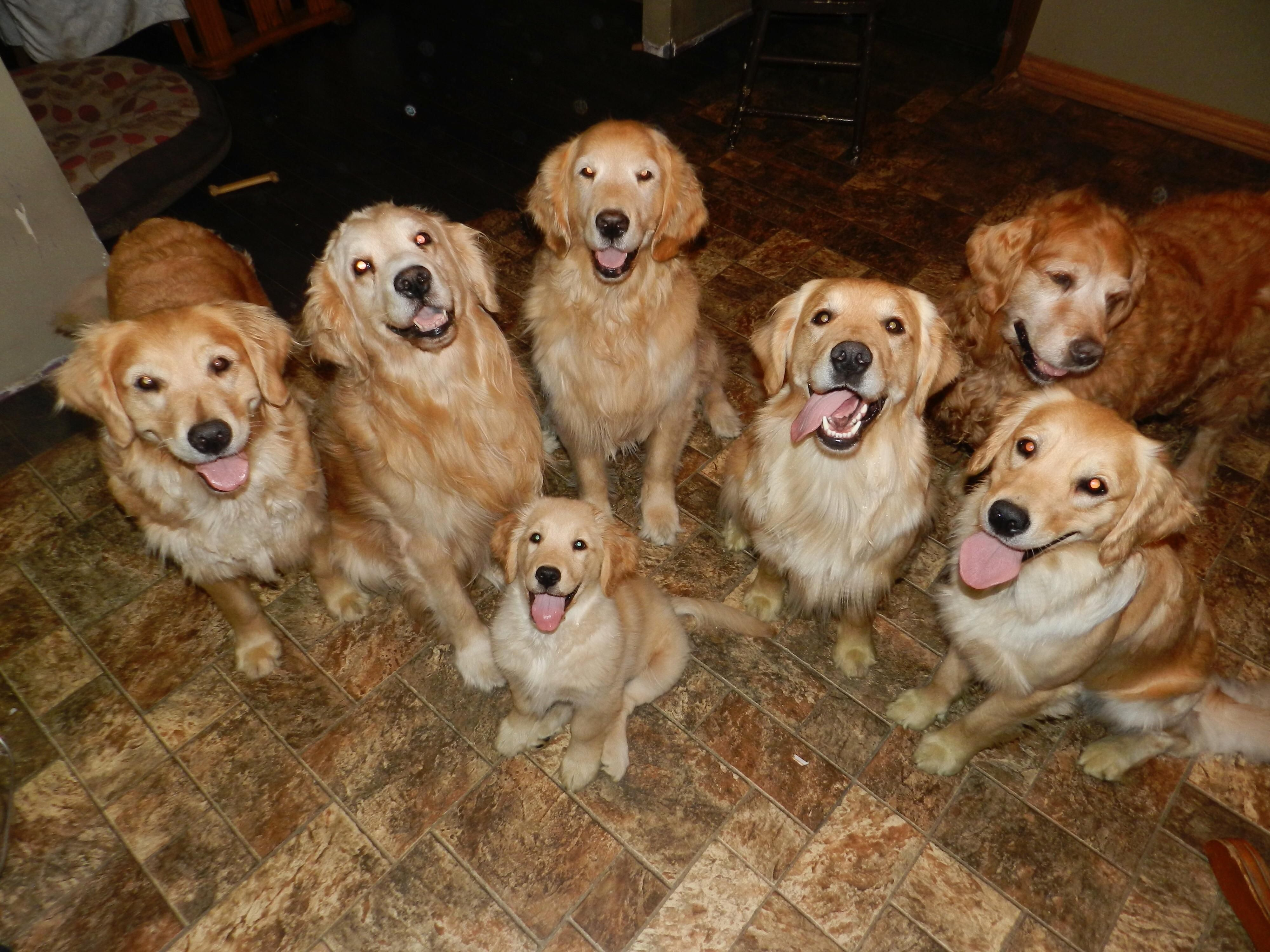 Psbattle This Pack Of Golden Retrievers Animal Rescue Shelters