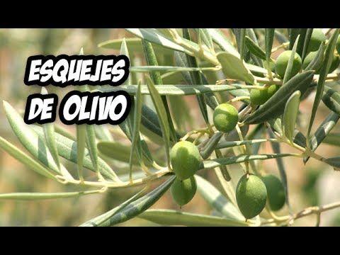 Como Hacer El Mejor Enraizante Natural Huerto Organico Youtube Poda De Arboles Frutales Olivo Arbol Olivo