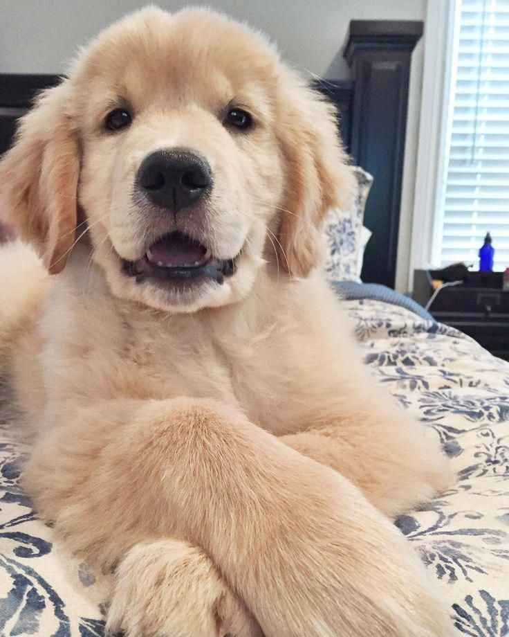 Some Goldens Are More Golden Than Others Baby Animals Cute