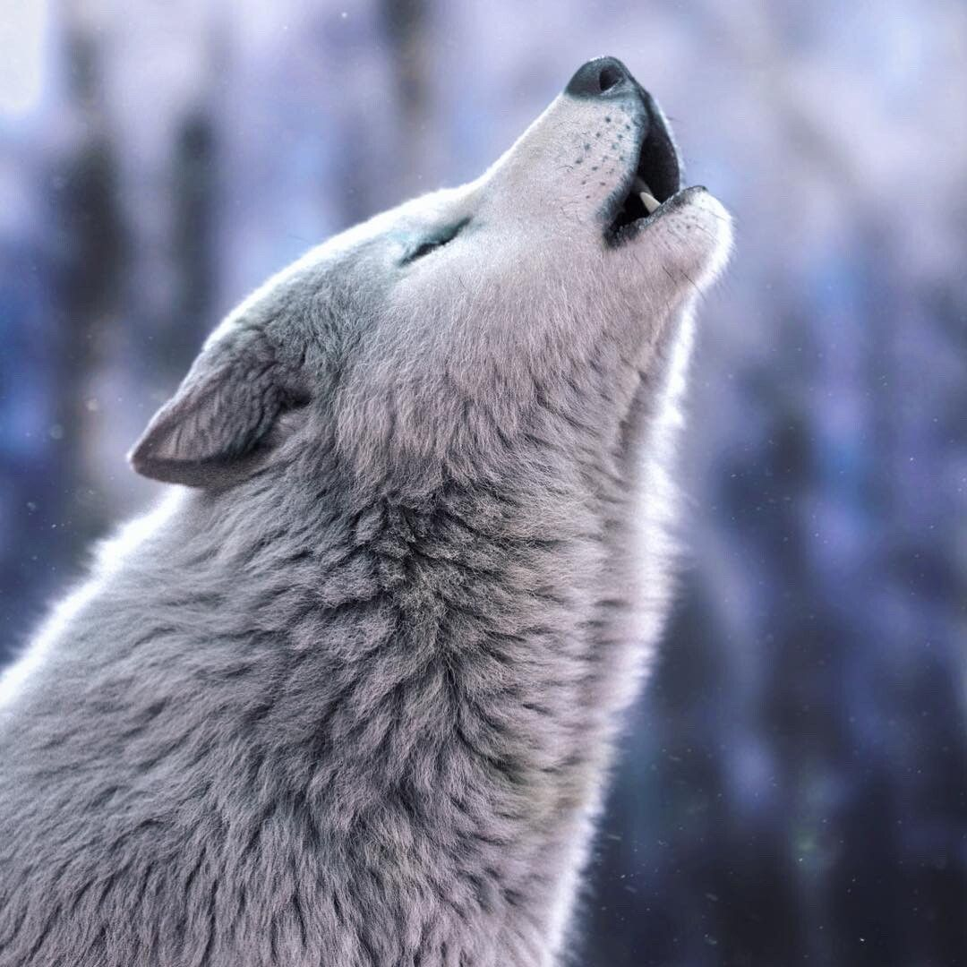 Howling White Wolf Massimo Righi On Artstation At Https Www Artstation Com Artwork Bao0gd White Wolf Wolf Photography Wolf Dog