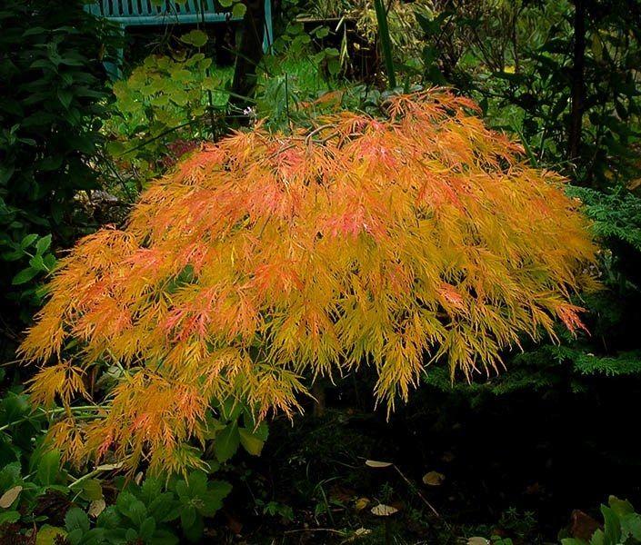 Beautiful Waterfall Japanese Maple Tree Japanese Maple