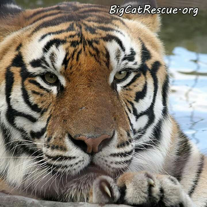 Pin by Rosie Cochcroft on tigers Big cat rescue, Big