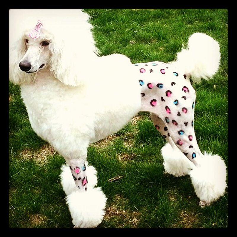 Dog Poodle Paint