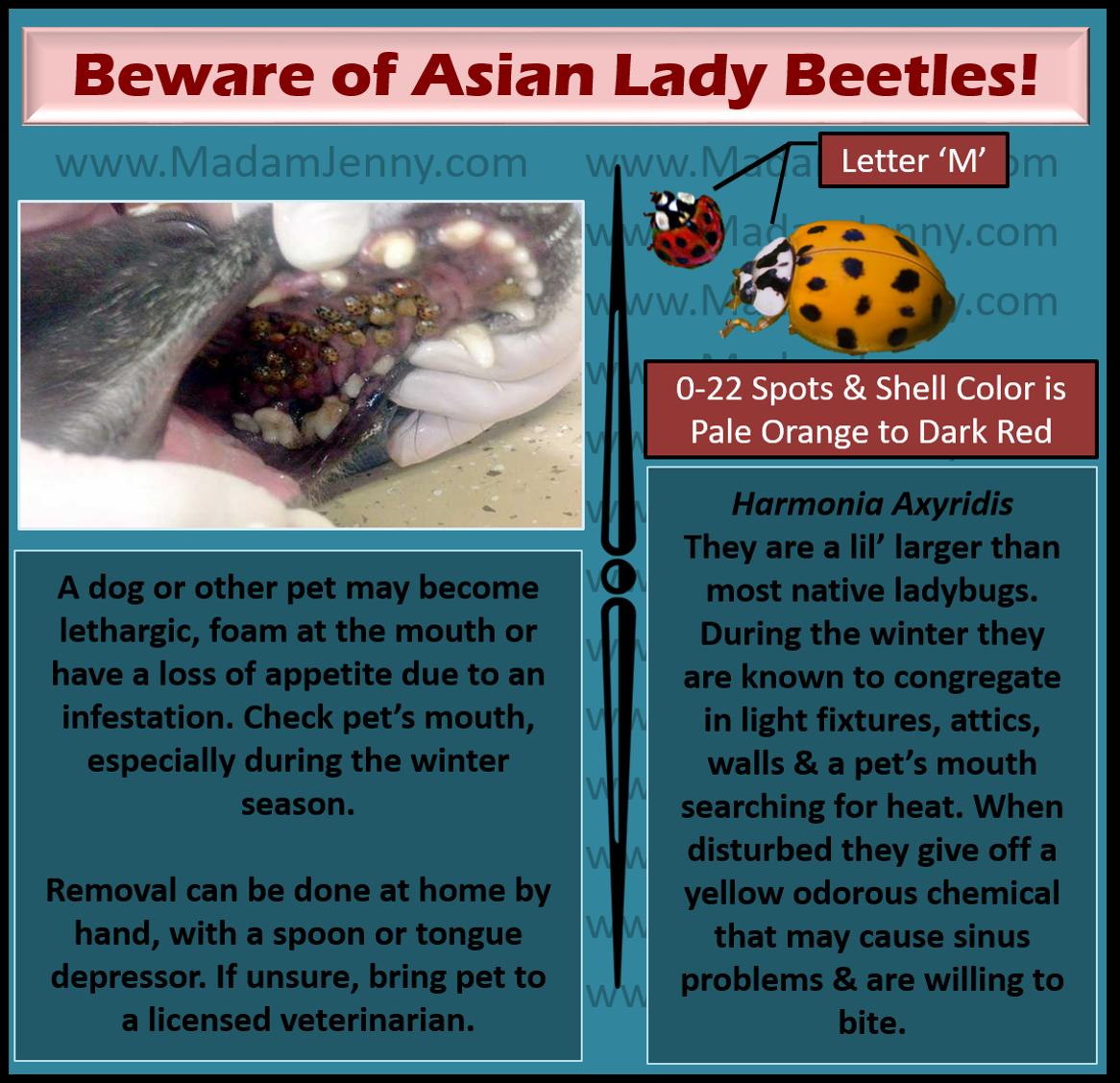 ladybugs in dog mouth
