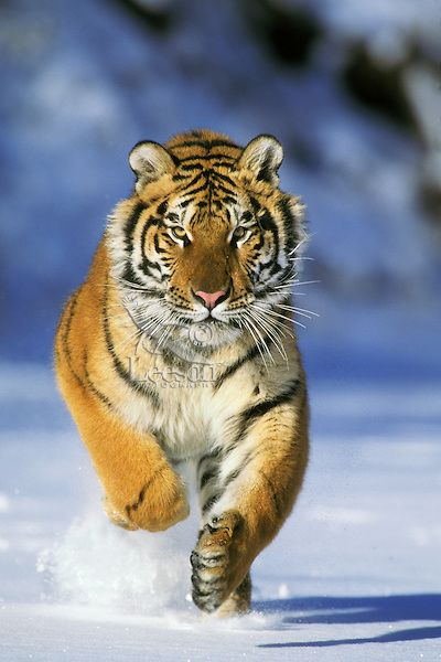 Siberian Tiger Or Amur Tiger Panthera Tigris Running Endangered Species Winter Tiger Images Tiger Pictures Tiger Wallpaper