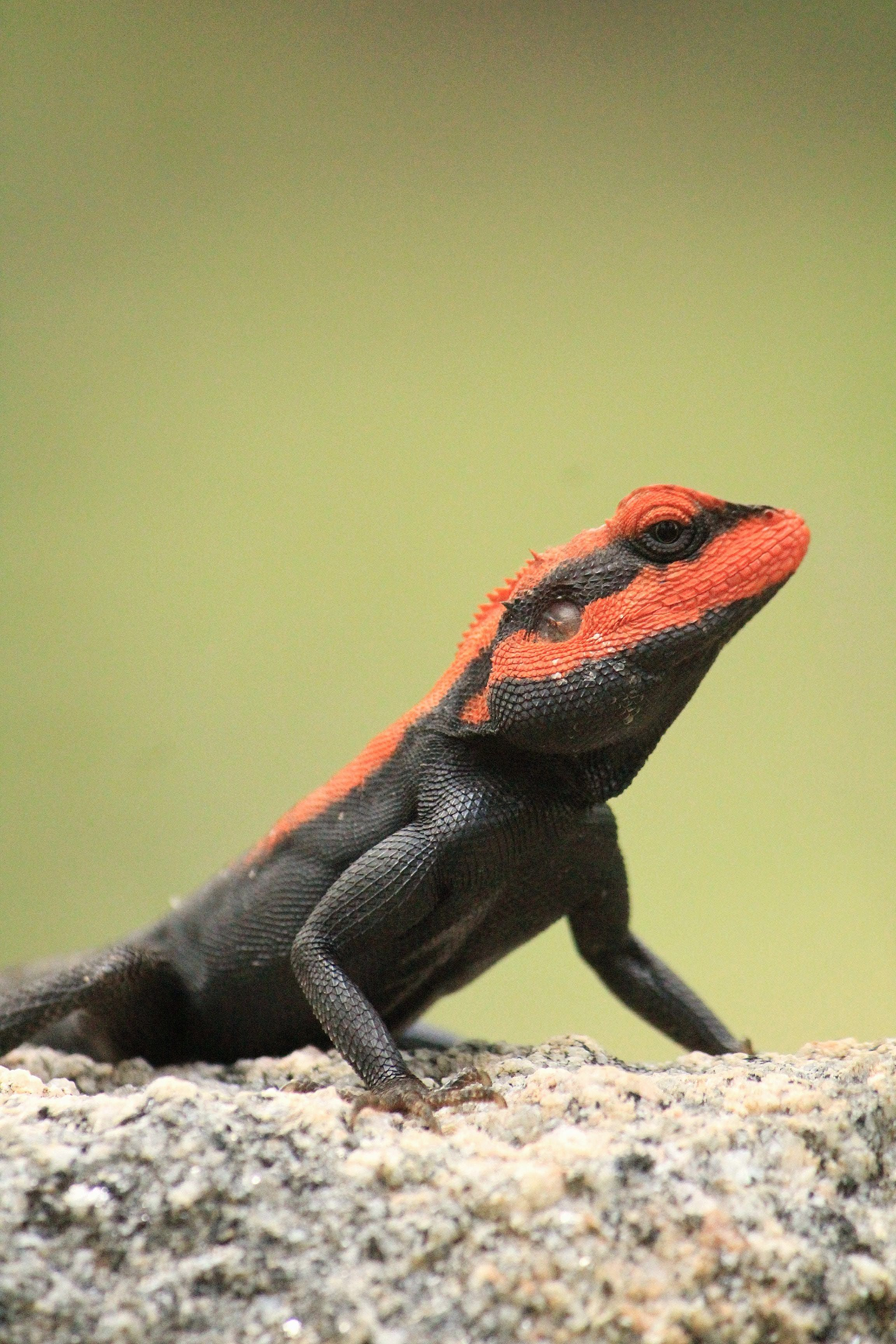 macro shot of black and red bearded dragon, Canon, Canon