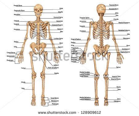 human skeleton from the posterior and anterior view - didactic, Skeleton