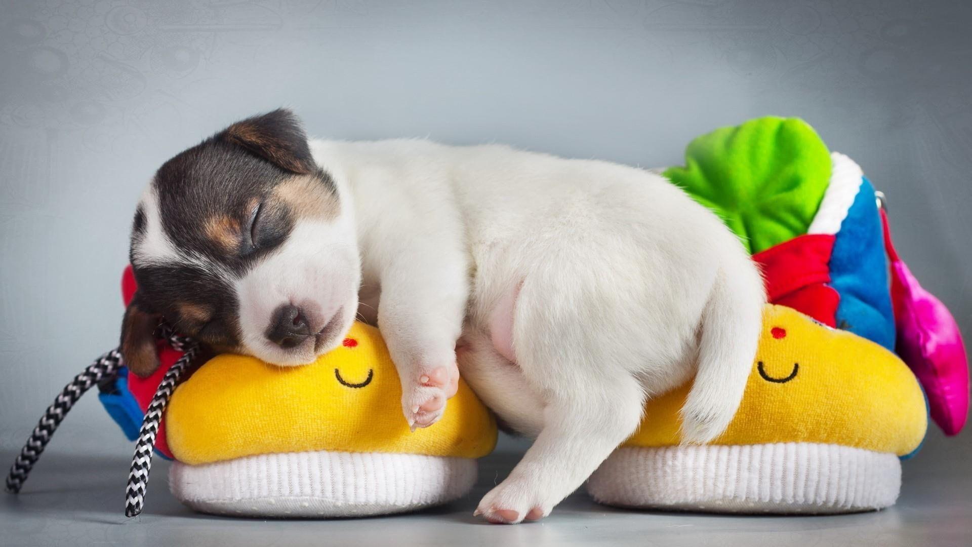 Puppy Cute Dog Jack Russell Sleep 1080p Wallpaper Hdwallpaper Desktop Jack Russell Tabby Kitten Orange Puppies