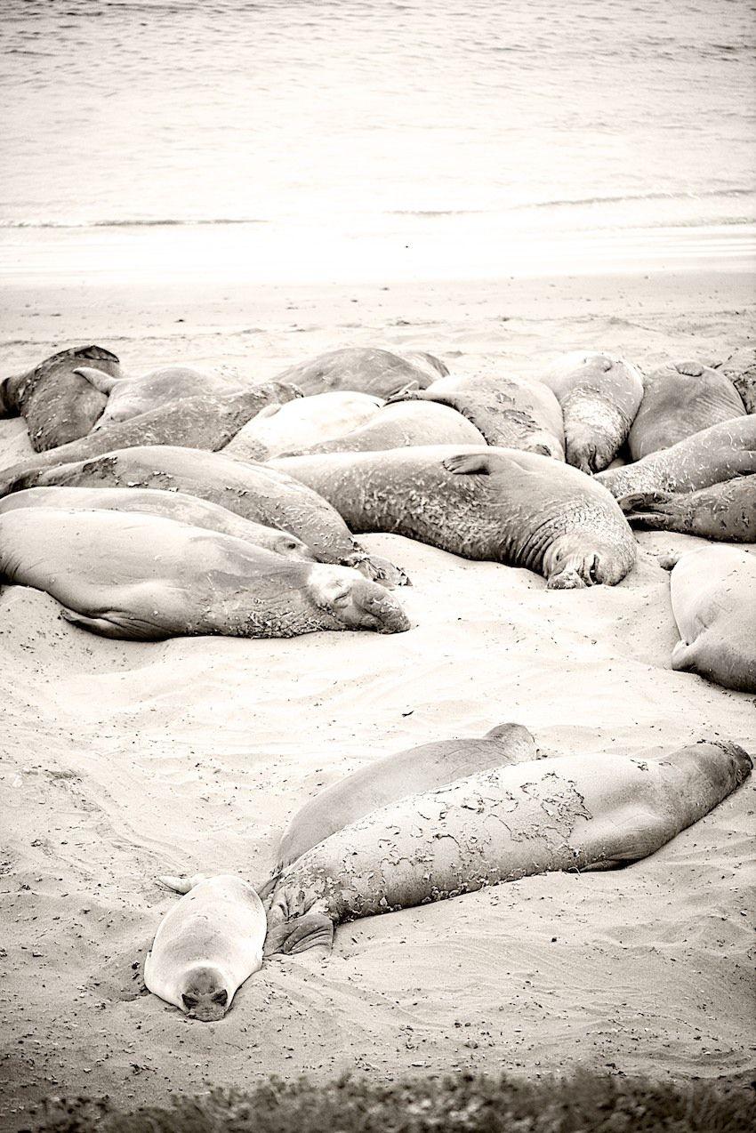Elephant Seals Between Hearst Castle And Morro Bay Big Sur Coastline California Weekend Hearst Castle California
