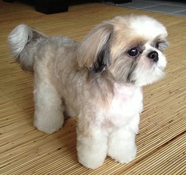 Ch Wenricks N Mr Foo S Full Throttle Call Name Alexis Shih Tzu Hair Styles Dog Haircuts Dog Bowtie