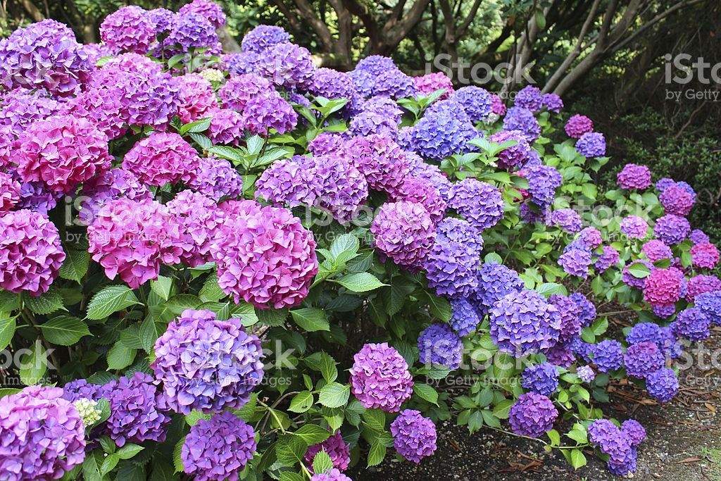 Photo Showing A Mass Of Pink Blue Lilac And Purple Flowers Growing Plants Flower Landscape Planting Flowers
