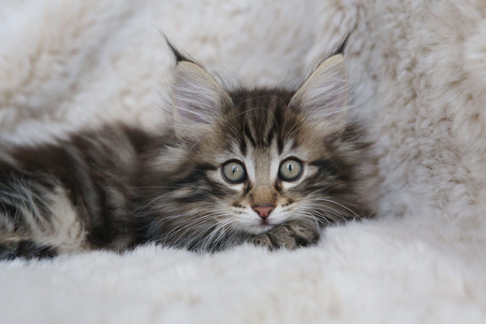 Nl Titran S Wilfredo 2 Months Old Male Kitten Black Tabby Blotched Kitten Tabby 2 Month Olds