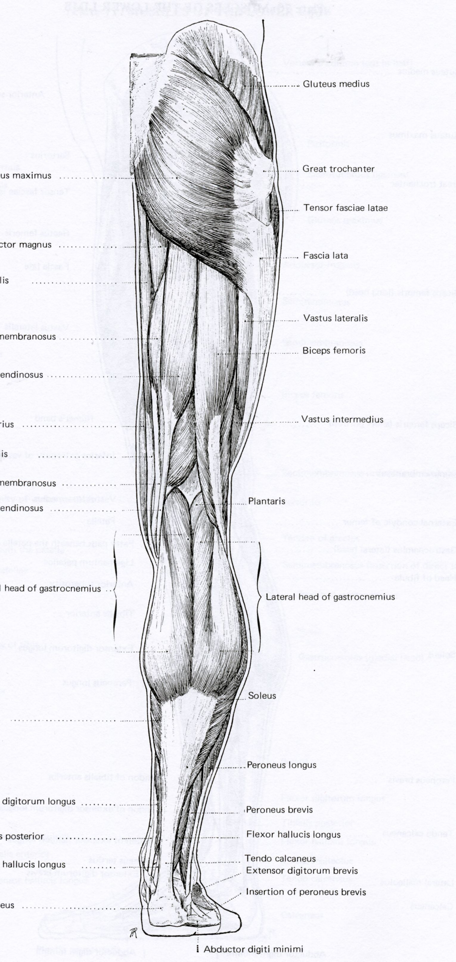 Posterior Leg Muscles Anatomy reference - muscles | anatomy of ...