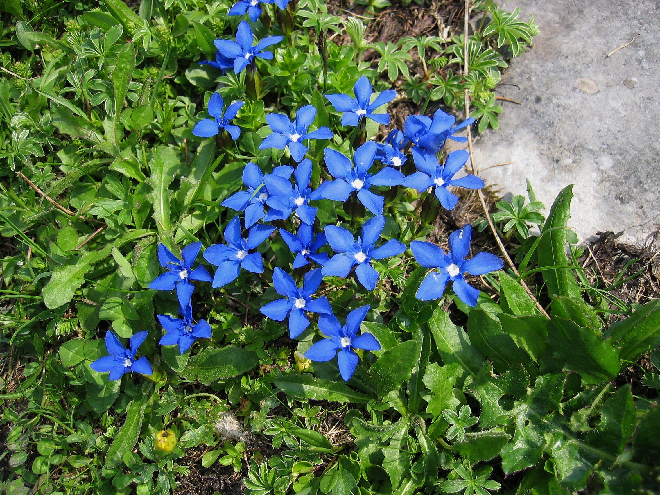 The vivid blue flower of the alpine spring gentian is used by the flowers garden buycottarizona