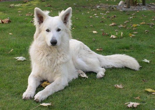 Berger Blanc Suisse Dog White German Shepherd White Shepherd