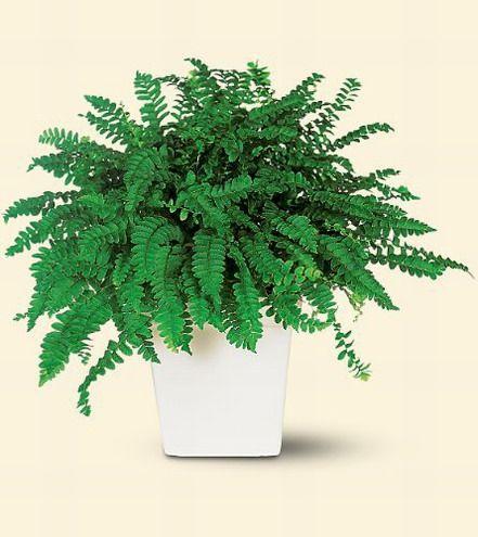 Srilankaflorist.com - Sri Lanka plants for the home or office. Plant on georgia indoor plants, singapore indoor plants, philippine indoor plants,