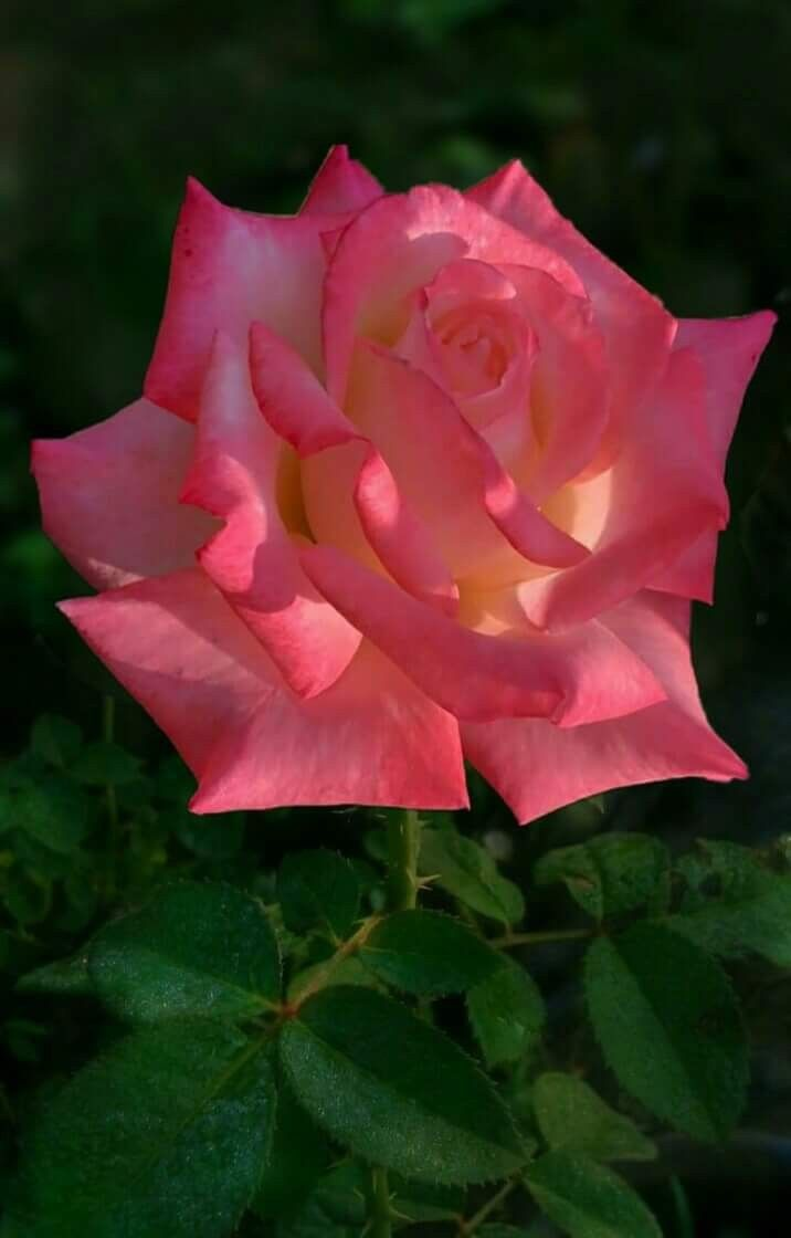 Id love a whole bunch of these gorgeous a rose is a rose id love a whole bunch of these gorgeous a rose is a rose pinterest flowers flower and beautiful flowers izmirmasajfo