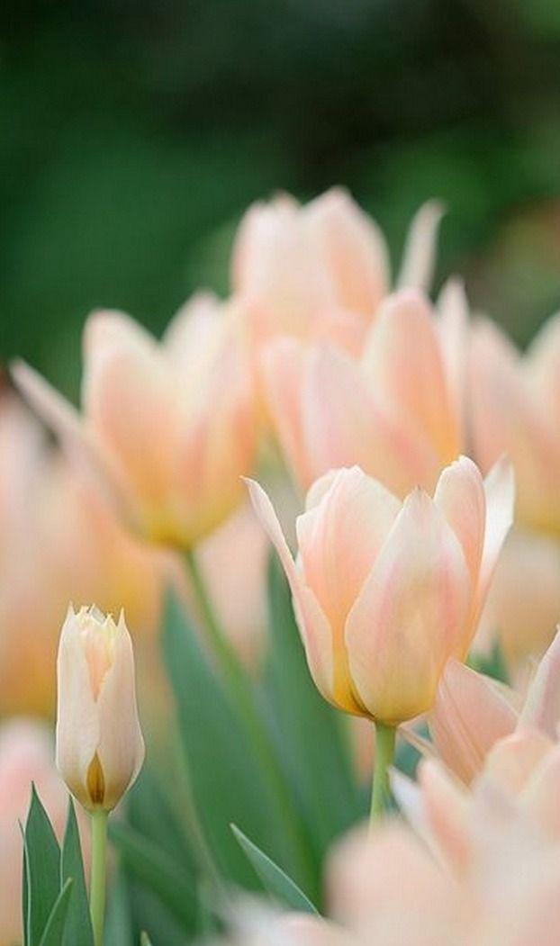 Thegardenofdreams Flowers Pretty Flowers Tulips Flowers