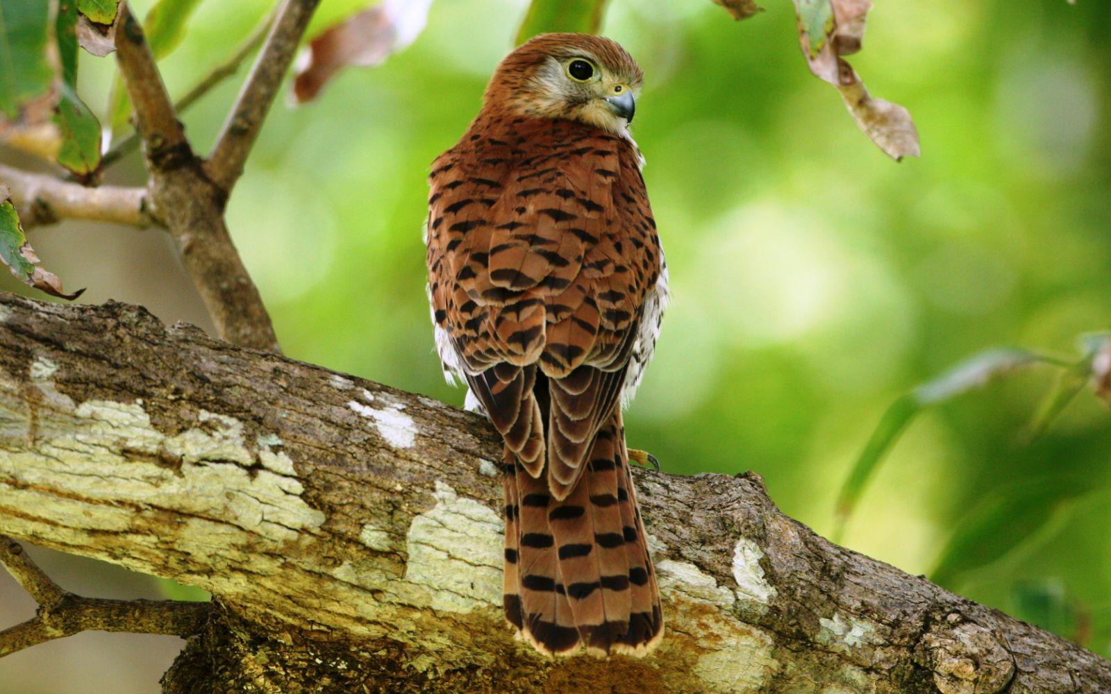 Resultado de imagem para Falco punctatus