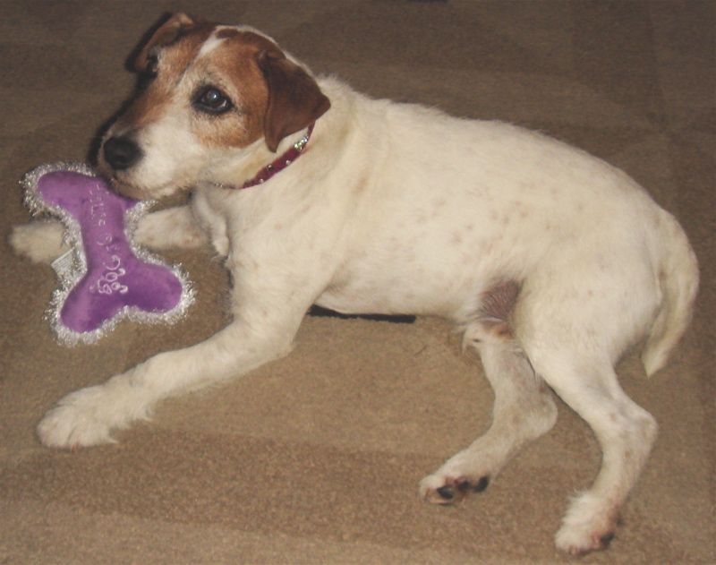 Uggie with toy