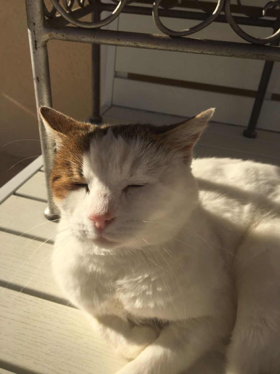 Chatte blanche au soleil