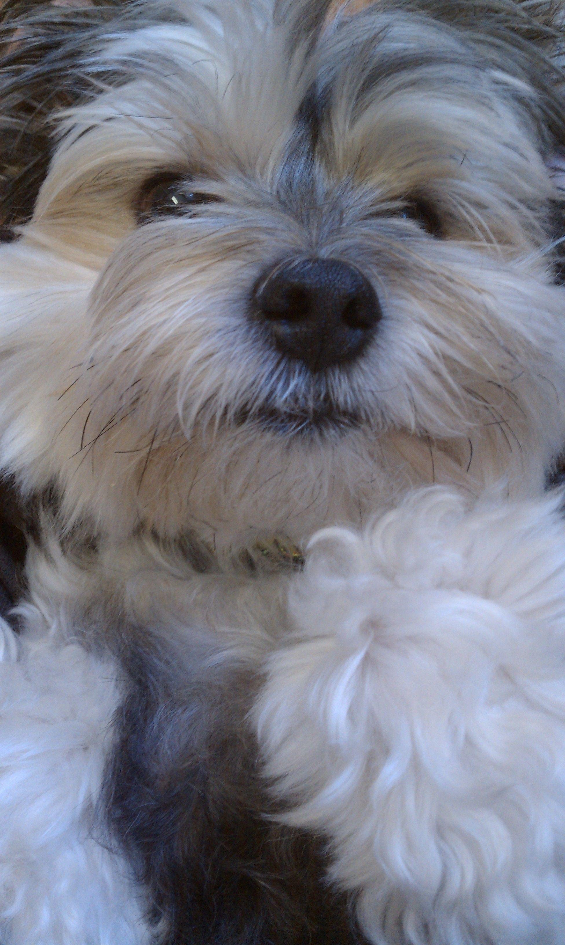 Morkie Maltese Yorkie Mix Gizmo Morkie Puppies Yorkie