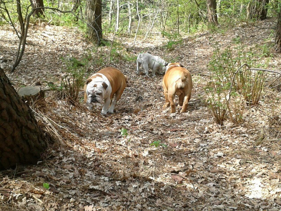 ❤ What's the chance - these 3 bully babies are hunting for Truffles LOL? ❤ Posted by Mieke van der Velden