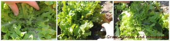 How to Harvest Lettuce So It Keeps Producing And Proper Storage -