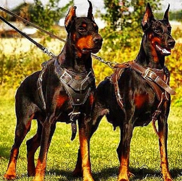 Now Those Are Some Serious Harnesses Gladiator Dogs Doberman