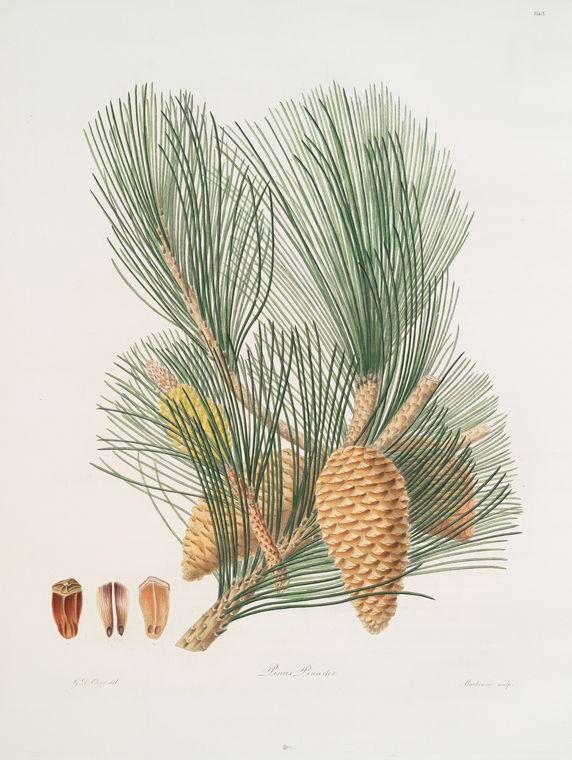 Pinus pinaster = The pinaster, or Cluster pine | Trees . leaves ...