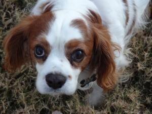 Buddy Is An Adoptable Cavalier King Charles Spaniel Dog In Little Rock Ar Buddy Is A Very Sweet And Gentle Blen King Charles Spaniel King Charles Spaniel Dog