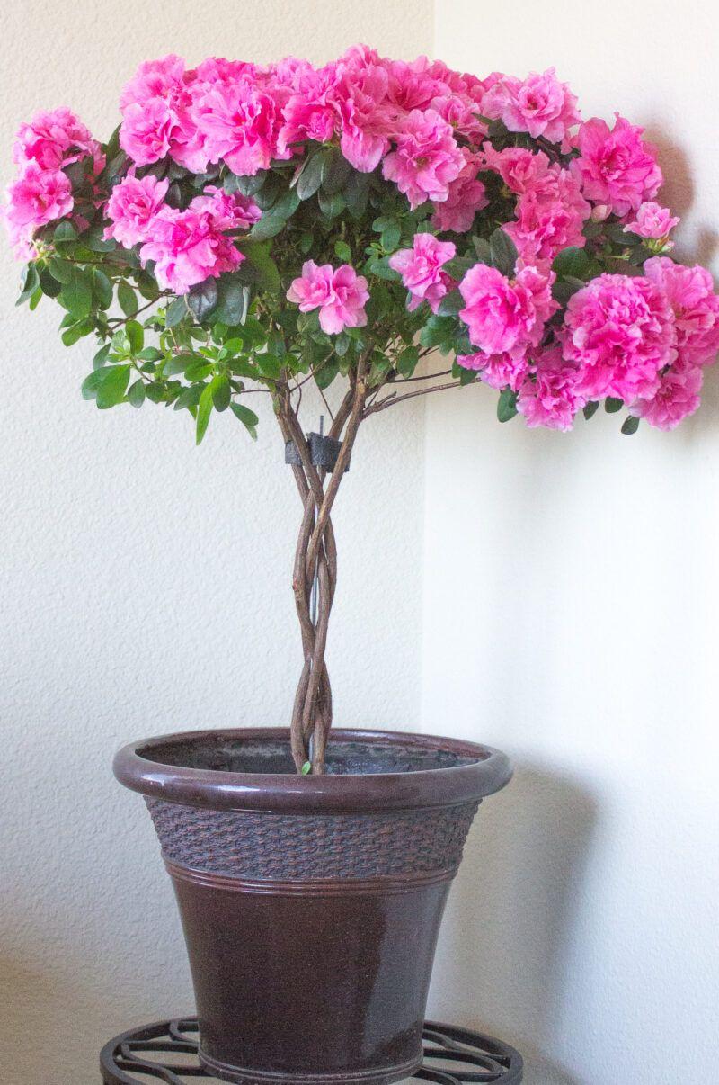 How to Grow Indoor Azalea Trees in 2020 Azaleas garden