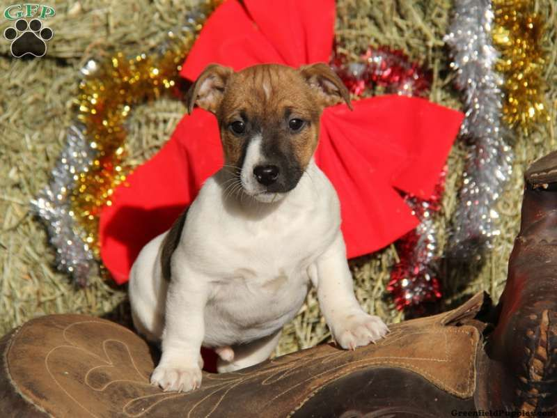 Logan Jack Russell Puppy For Sale From Honey Brook Pa Jack Russell Terrier Puppies Jack Russell Puppies For Sale