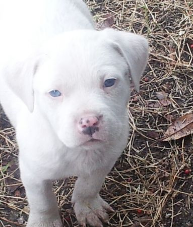 Pin By Terra On Animals White Pitbull Puppies Pitbull