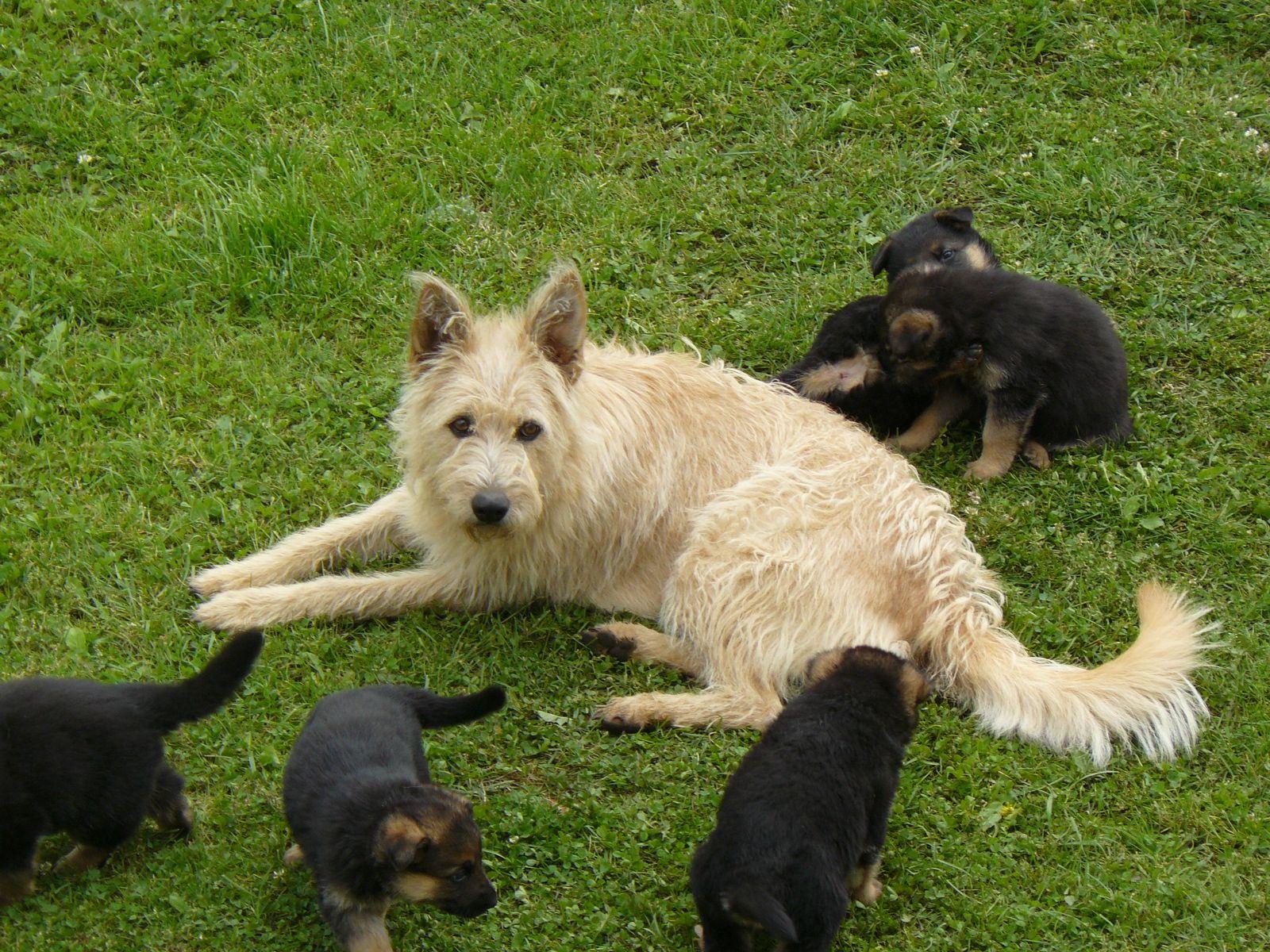 Belgian Shepherd Dog (Laekenois) Pictures   Wallpapers9
