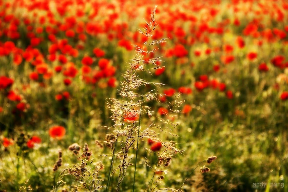 Grass and Poppies.
