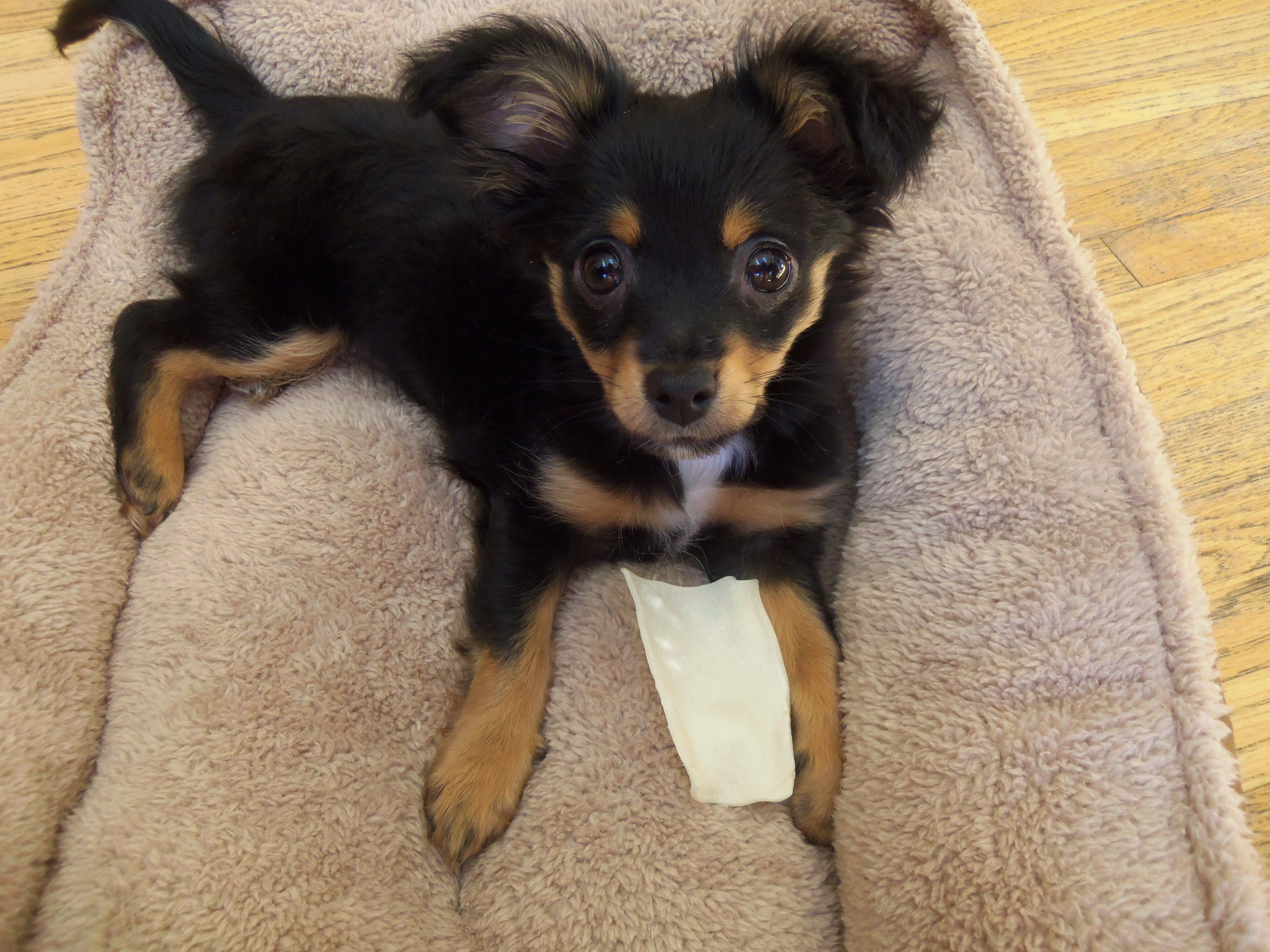 chihuahua puppy (With images) Chihuahua puppies, Irish